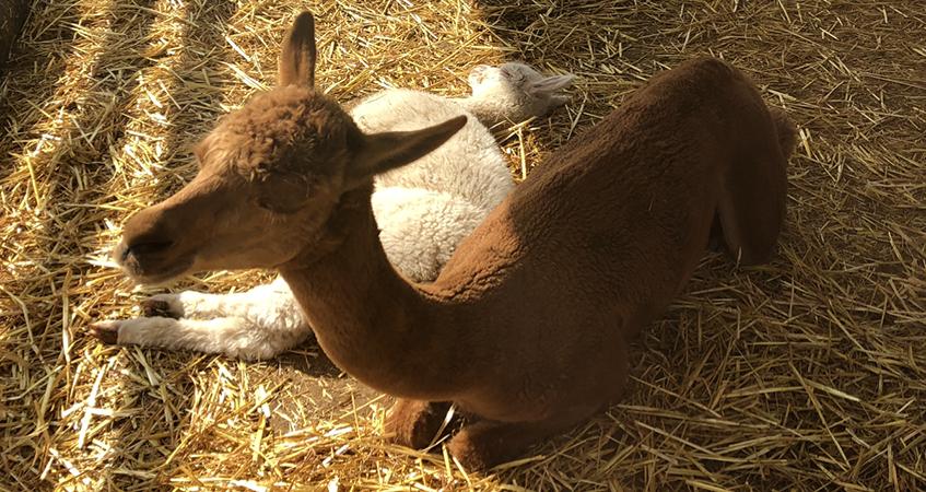 alpacas-847